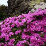チンパンジー岩(自称)とミヤマキリシマ(黒岩山)
