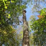 立枯れの木の最上部に巨大なサルノコシカケ
