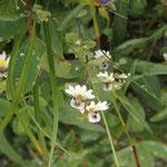 コバノコゴメグサ(小葉の小米草)