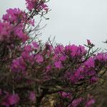 ミヤマキリシマ(合頭山・山火事後の開花)