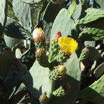 Kaktusblueten am Weg