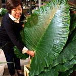 アフリカから入ってくる大きな葉