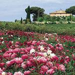Coltivazione Peonie a Vitorchiano