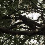 コブシの花(遠景)