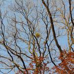 自然林 ヤドリギ