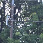 オオタカが電線にずっと留まっていました