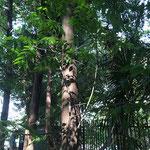 ニガキ 済美山自然林