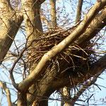 自然林 カラスの巣 アップ