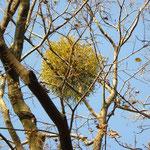 自然林 ヤドリギ アップ