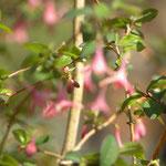 ウグイスカグラも開花 済美山自然林