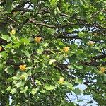 善福寺川緑地ではユリノキの花が咲いていた