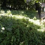 観察の森 ヒガンバナ エリア 草刈り前