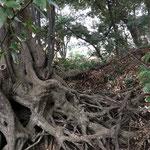 アカガシの根っこ