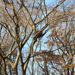 自然林 カラスの巣