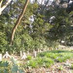 観察の森 ヒガンバナの観察路