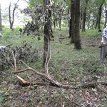 大きな落枝(済美山自然林)