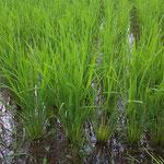 ホタル田んぼの稲 まだまだ成長過程です。