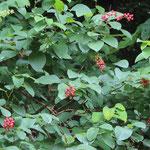 クマヤナギ花と実(昨年の花)