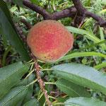 我家の庭に実ったハナモモの実 食べられないと思います。