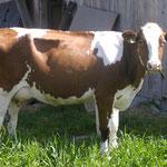 ca. 20 Kühe sowie Rinder und Kälber!