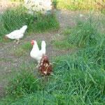 Braune und weisse Hühner mit einem glücklichen Güggu