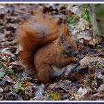 Eichhörnchen (Sciurus vulgaris), März 2018, Staaken/Berlin