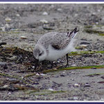 Sanderling (Calidris alba), November 2017,  Nordstrand Prerow
