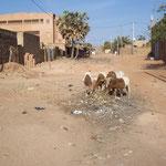 """Schafe hinter der Klinik """"Dr. Issa Ouedraogo"""""""