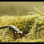 Salamandre tacheté