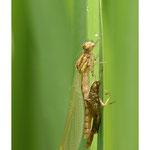 Demoiselle passant du stade larvaire à imago