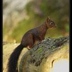 Sciurus vulgarie, Ecureuil roux