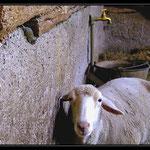 Souris & mouton