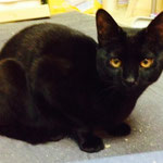 【 #大阪 #猫 #里親募集 】 虐待のあった地域で保護した #子猫 。#黒猫 オス8ヶ月程。 ビビりですが、お腹も触らせゴロゴロ甘えるようになりました 鼻筋の通ったイケニャン☆彡 去勢手術後に譲渡、終生育成できる方家族に迎えて下さい