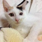 【 #大阪 #猫 #里親募集 】猫屋敷からレスキューした衰弱してガリガリだったミケコ♀。片目になってしまったけど、まんまる可愛くなりました。人が大好きな甘えん坊☆彡ワクチン済、血液検査良好、避妊手術済み。終生育成できる方ご連絡下さい