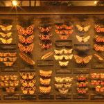 Die Besucher können sich über die Systematik heute lebender Insekten informieren und gleichzeitig den Weg der Evolution von den Urinsekten bis zu den Schmetterlingen verfolgen.
