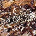 Termites souterrain