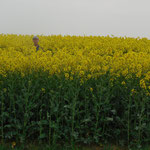 la champ de colza
