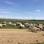 山羊と羊を一つの群れに同居させることによって良い草を求めてどんどん移動して行く山羊に羊もついていくという仕組み。 また山羊は羊と比べて寒さに弱いので、羊の群れの中にいることで寒さをしのげる。