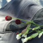 高山植物ワレムコウ。モンゴル語で「羊のうんこ花」