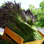 Lavendelöl, Lavendula stoechas