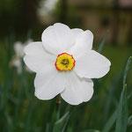 Narzissenöl, Narcissus poeticus