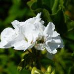 Geraniumöl, Pelargonium graveolens