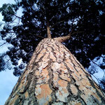 Meerkiefernöl, Pinus pineaster
