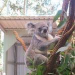 ein wacher Koala - Glueck gehabt