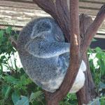 ein schlafender Koala