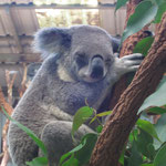 ein kurz-vorm-einschlafen-Koala