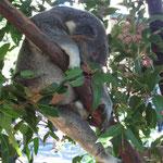noch ein schlafender Koala