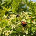 Hummel und Schmetterling beim arbeiten
