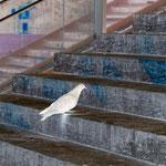 Le Pigeon, 2013