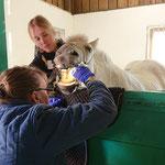 Stallets veterinär Sanna kollar tänderna på Hetja.